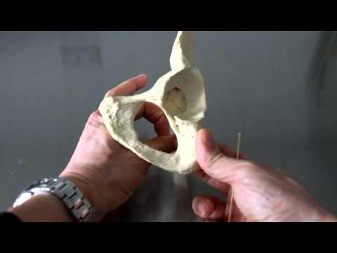 SKELETAL SYSTEM ANATOMY: Pelvic girdle, os coxa, coaxial bone, hip bone