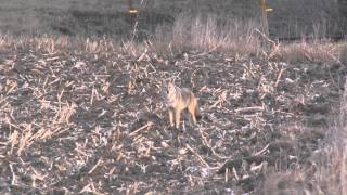getlinkyoutube.com-Titman Brothers Outdoors Coyote Hunting #1, Greatest Hunt