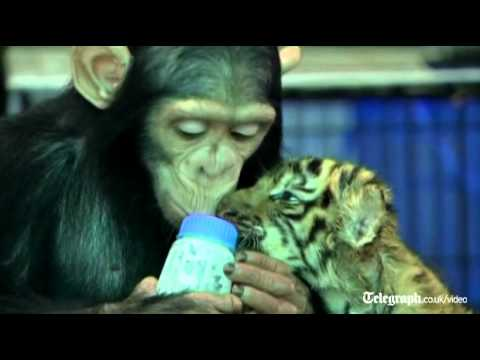 Chimpanzee bottle feeds tiger cubs at Thai zoo