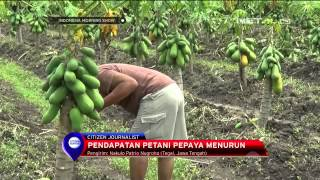 getlinkyoutube.com-Ratusan tanaman pepaya California milik petani Tegal gagal panen - IMS