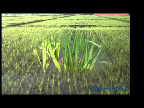 เครื่องหยอดแถวข้าวงอก Rice Drum Seeder (Complete)