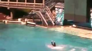 getlinkyoutube.com-Killer Whale Attacks at Sea World! UNCUT VIDEO!!!!!