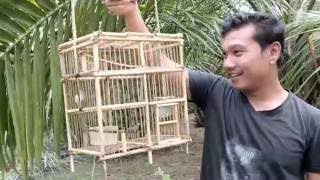 getlinkyoutube.com-memikat burung ciblek paling jitu part 2