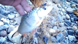 getlinkyoutube.com-Menjala menelusuri sungai untuk mencari ikan hampala ( catch fish )