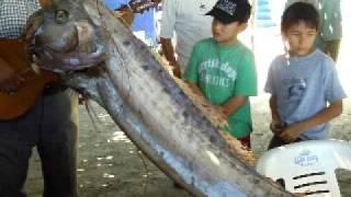 getlinkyoutube.com-Estudian al extaño pez gigante de Manzanillo