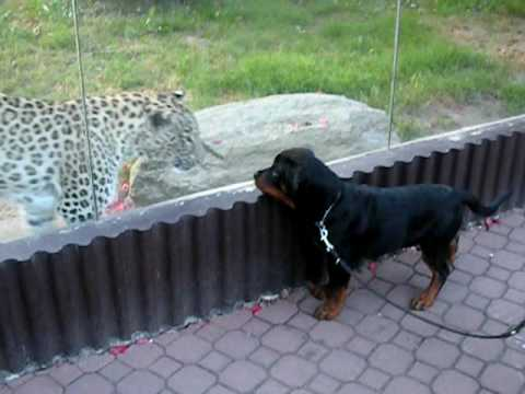 De Rottweiler Vs Pitbull Mirar Videos Online Picture