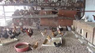 getlinkyoutube.com-تربية الدجاج