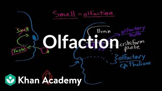 getlinkyoutube.com-Olfaction - structure and function | Processing the Environment | MCAT | Khan Academy