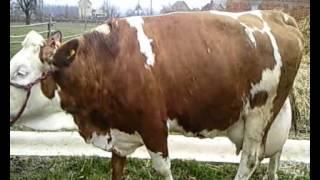 getlinkyoutube.com-Krava Simentalka 52 litre mleka