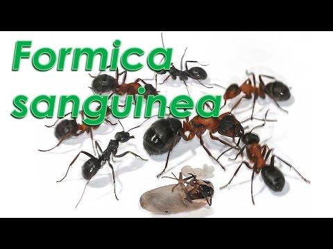 Le formiche di Gianni - Formica sanguinea