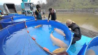 getlinkyoutube.com-Konishi Koi Farm - Super Jumbo Karashigoi: 90 - 110 cm