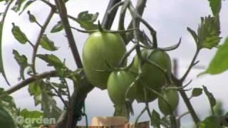 getlinkyoutube.com-Grafted Tomatoes