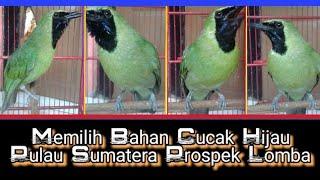 Memilih Bahan Cucak Hijau Pulau Sumatera Prospek lomba