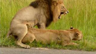 getlinkyoutube.com-Mating Lions in Kruger national park