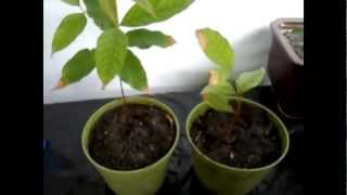 getlinkyoutube.com-Growing Rambutan from Seeds