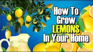 getlinkyoutube.com-HOW TO GROW A LEMON TREE FROM SEED! WORKS EVERY TIME !