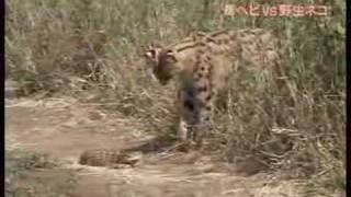 getlinkyoutube.com-Serval vs Poisonous Snake