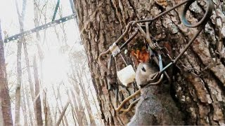 getlinkyoutube.com-How to set a Tree Set trap for Squirrel - Conibear 110