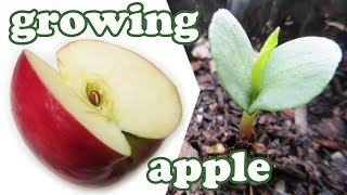 getlinkyoutube.com-How To Grow An Apple Tree From Seeds - Growing Apples Fruits - Planting Dwarf Fruit Trees - Jazevox