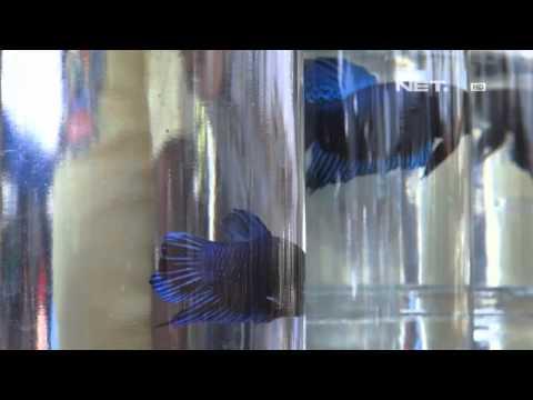 NET24 - Pasar Ikan Hias Di Bandung