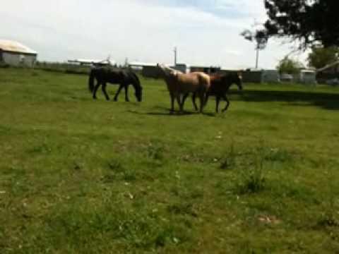 Stallion Mustang stealing mares in herd 5 of 6 - Rick Gore Horsemanship
