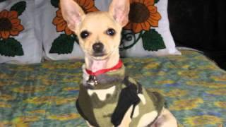 getlinkyoutube.com-El perro chihuahua más bonito del mundo JERRY MOUSE