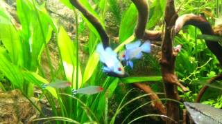 "getlinkyoutube.com-Mikrogeophagus ramirezi ""Electric Blue"".mp4"