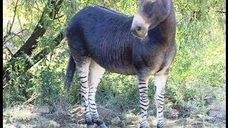 getlinkyoutube.com-Donkey Mates with Zebra. Meet the Zonkey.