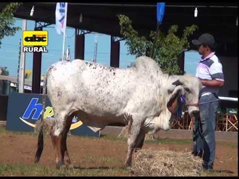 Ganado Gyr en Paraguay