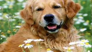 getlinkyoutube.com-Os 10 Cães Mais Inteligentes (The 10 most intelligent dogs)