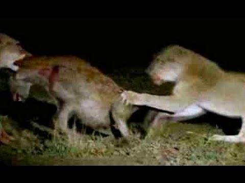 Pride of Lions Versus Hyenas - Latest Wildlife Sightings