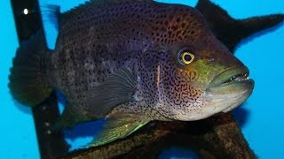 """Very Aggressive Fish - The Growing Pains of keeping a Wolf Cichlid """"Parachromis dovii"""""""