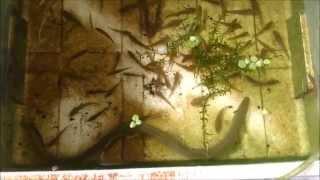 getlinkyoutube.com-ウナギのエサは大好物なヨシノボリ