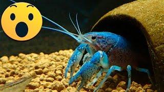 getlinkyoutube.com-Procambarus Alleni Blue: Esto no me lo esperaba