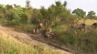 Lions World ♛ The Last Battle Of `Mr.T` Mapogo  - III_IV -