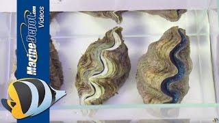 getlinkyoutube.com-How to Care for Tridacna Clams in Your Saltwater Aquarium