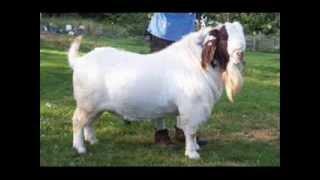 getlinkyoutube.com-boer goats of the year