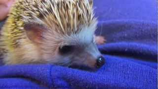 getlinkyoutube.com-What you Need for a Hedgehog