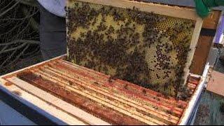 getlinkyoutube.com-Renforcement ruche   تقوية طوائف النحل الضعيفة