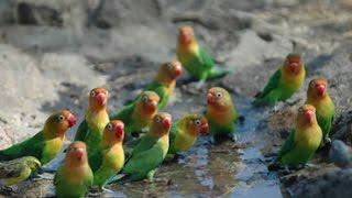 Cantiknya Lovebird Liar Afrika  Part 2 - Bebas Lepas di Alam