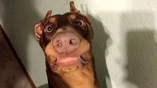 getlinkyoutube.com-Funny dogs never fail to make you happy and smile - Funny dog compilation