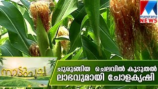 getlinkyoutube.com-Corn cultivation promises high profit | Manorama News | Nattupacha