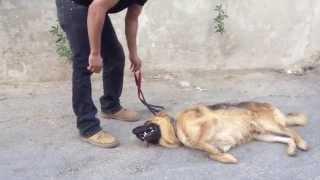 getlinkyoutube.com-الكلب الراعي الالماني مع جمال العمواسي