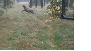 getlinkyoutube.com-Drückjagd in Polen - driven hunt Chasse - The best Hunting film - Polowanie zbiorowe - Jelenie