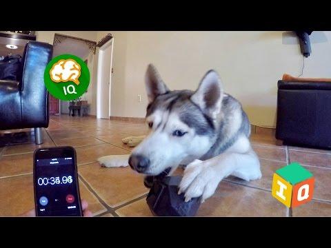Testing My Dog's Intelligence - Dog IQ Treat Dispensing Toy!
