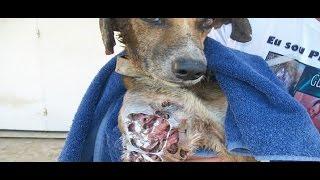 getlinkyoutube.com-Salvan a perro que era DEVORADO vivo por los GUSANOS y estaba a punto de Morir