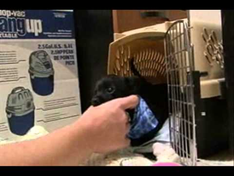 Two-Legged-Chihuahua-ROO-GETS-adopted.wmv
