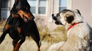 getlinkyoutube.com-Doberman vs. Kangal
