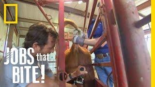 getlinkyoutube.com-Castrating a Bull | Jobs That Bite