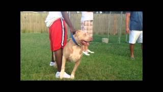 getlinkyoutube.com-Largest Bully XXL Huge bluefawn Pit bull, ManMade Kennels Leonidus vs. game dogs: Huge pitbull